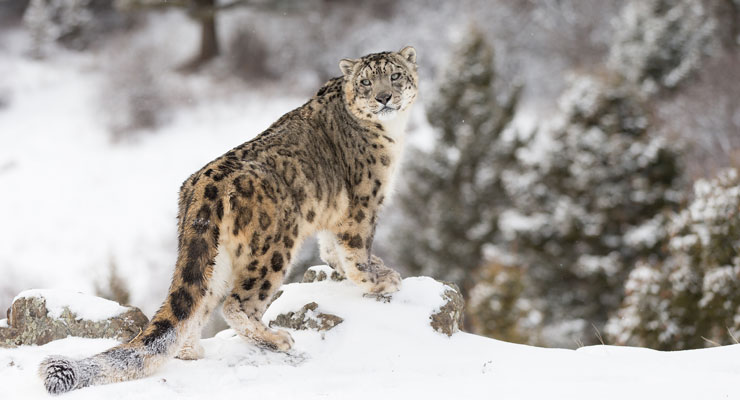 Snow Leopards: What the sound of silence looks like