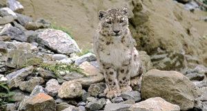I spot a Snow Leopard