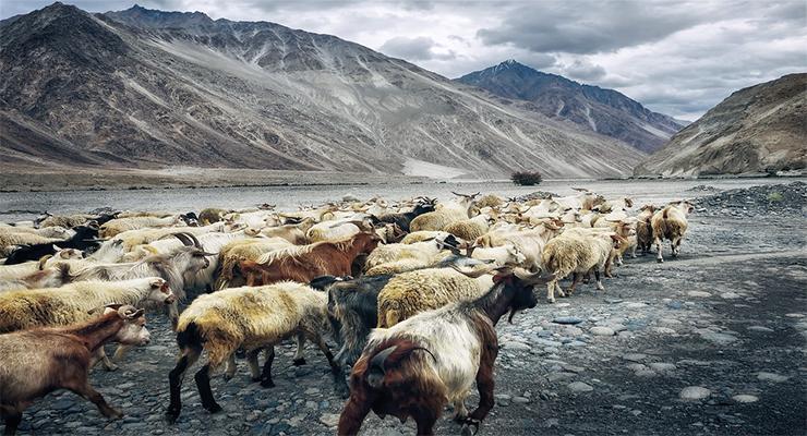 birdwatching in ladakh