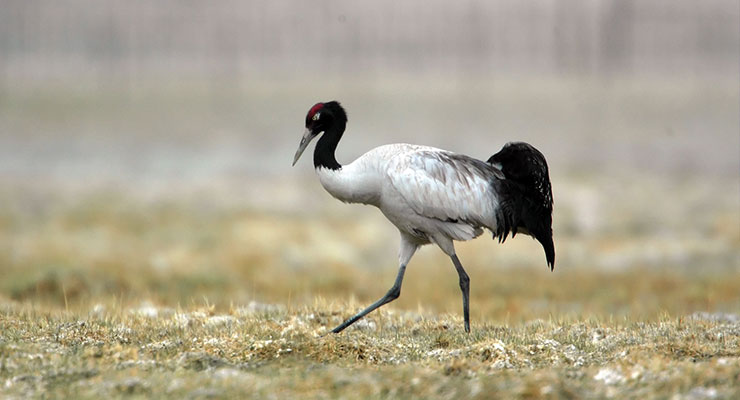black-necked-crane